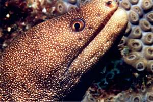 Golden Tail Eel (click here for Open Water Referral Courses)